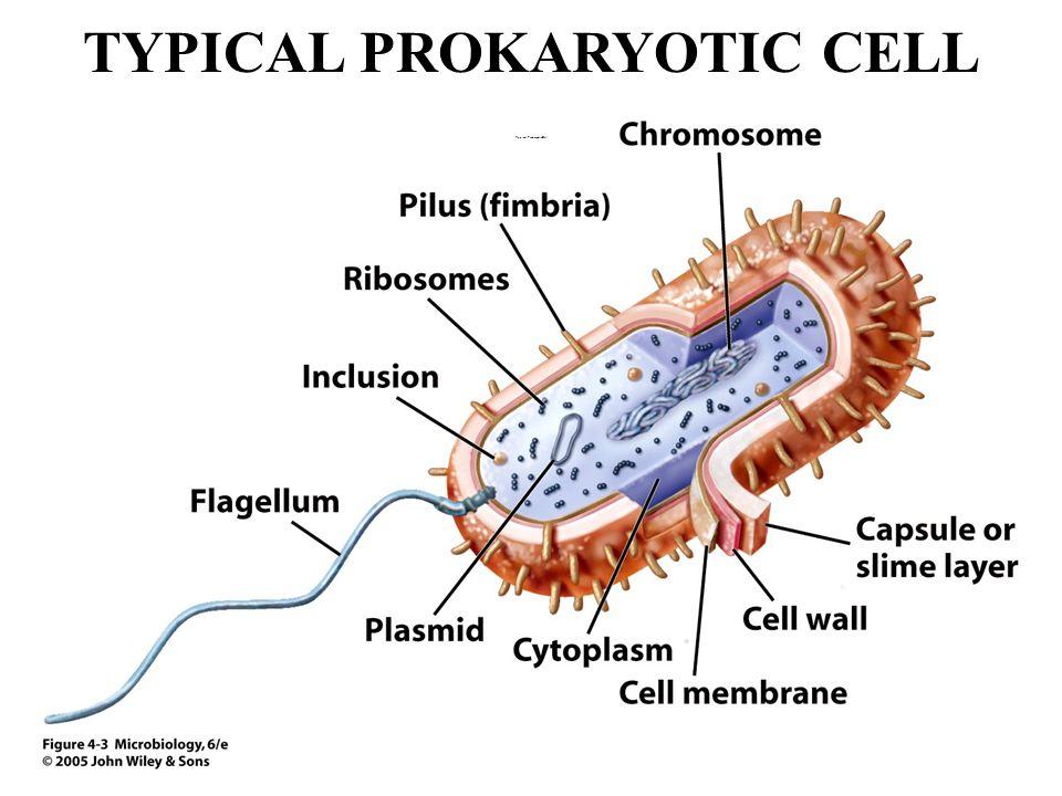 TYPICAL PROKARYOTIC CELL Typical Prokaryotic Cell