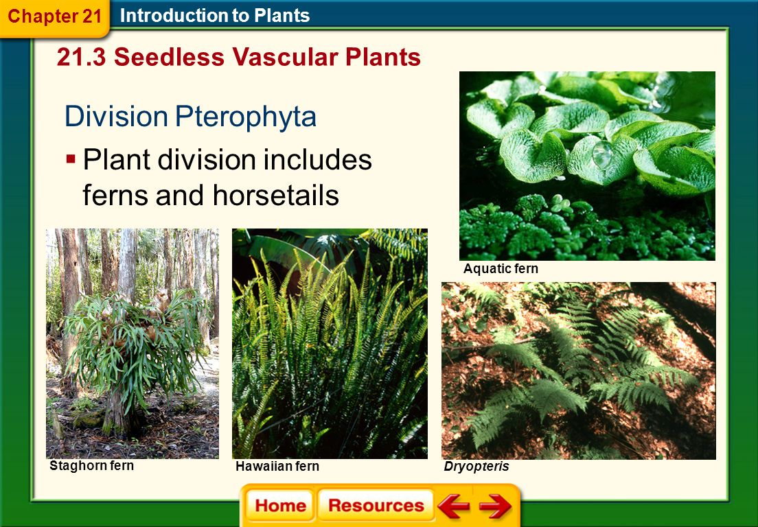Introduction to Plants Two generaLycopodium and Selanginella 21.3 Seedless Vascular Plants Chapter 21 Have roots, stems, and small, scaly, leaflike structures