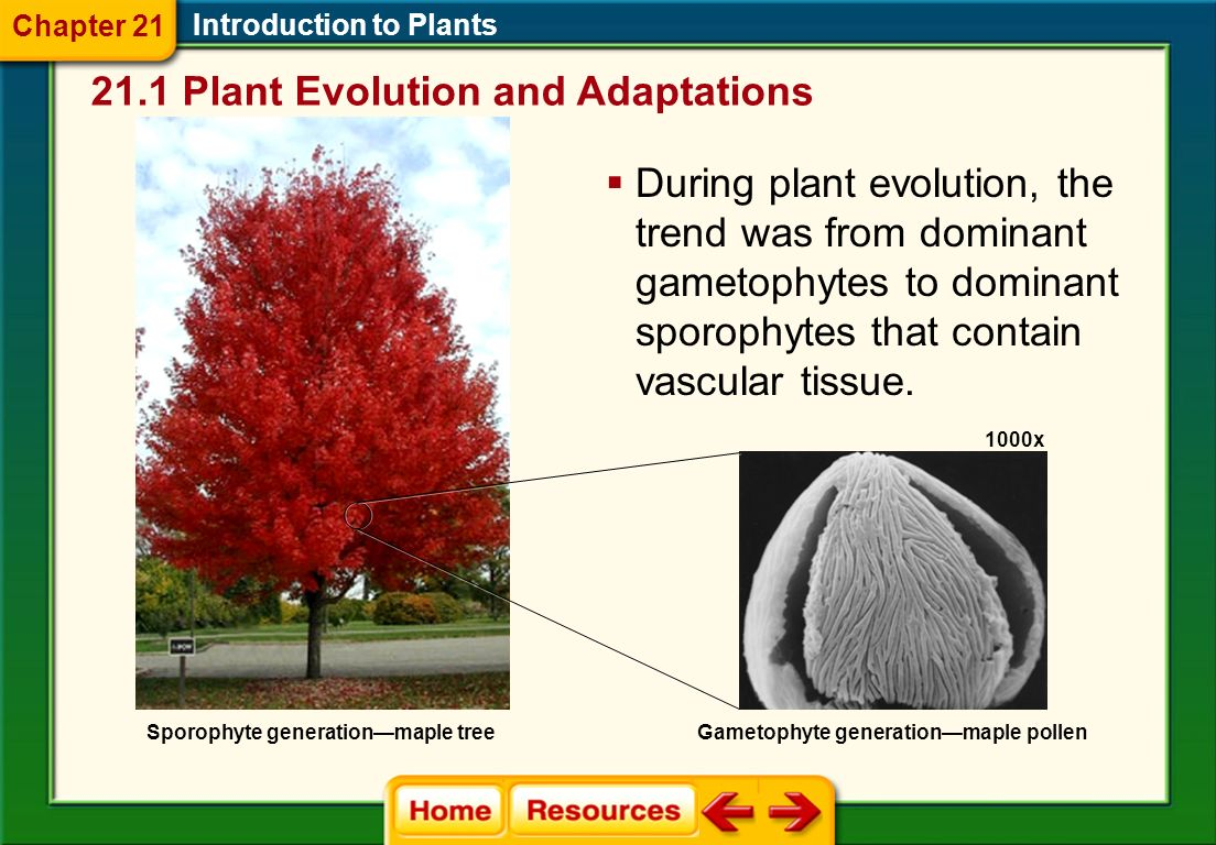 Alternation of Generations Introduction to Plants Gametophyte generation produces gametes.