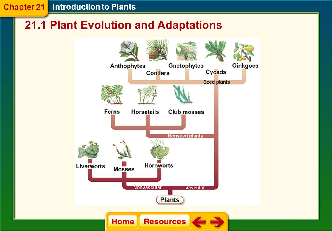 During plant evolution, the trend was from dominant gametophytes to dominant sporophytes that contain vascular tissue.