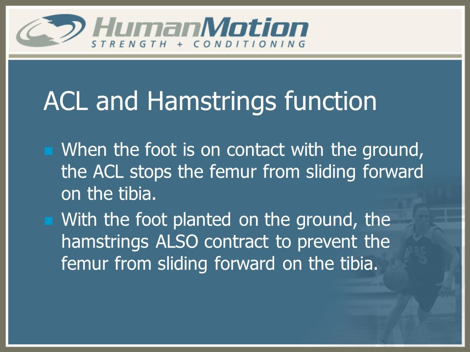 ACL and Hamstrings function When the foot is on contact with the ground, the ACL stops the femur from sliding forward on the tibia. With the foot plan