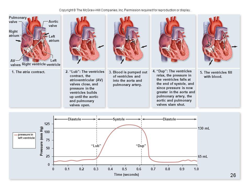 Right ventricle 1. The atria contract. Diastole LubDup DiastoleSystole Pressure (mm Hg) 0 25 0.101.00.90.80.60.70.50.40.30.2 50 75 100 125 Pulmonary v