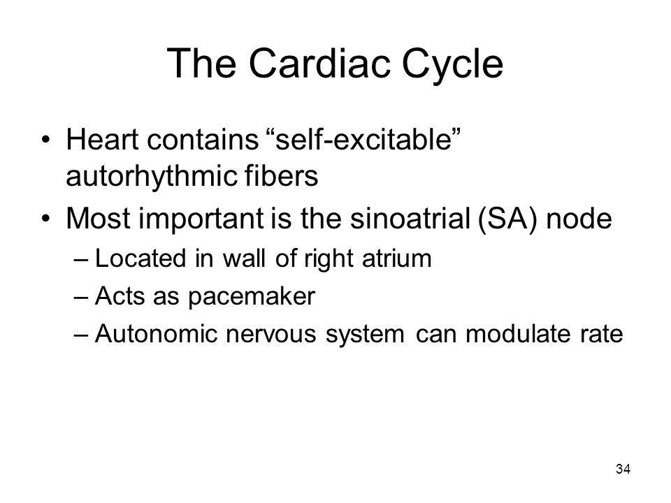 The Cardiac Cycle Heart contains self-excitable autorhythmic fibers Most important is the sinoatrial (SA) node –Located in wall of right atrium –Acts