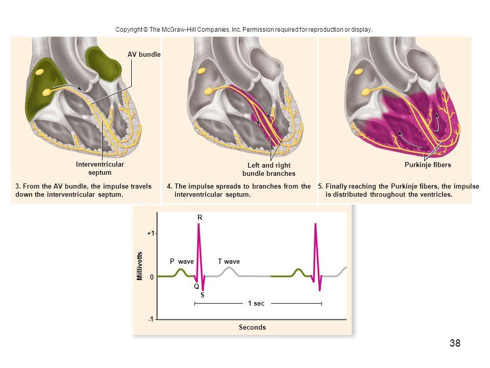 Seconds R T wave 1 sec +1 0 Purkinje fibers AV bundle Interventricular septum 3. From the AV bundle, the impulse travels down the interventricular sep