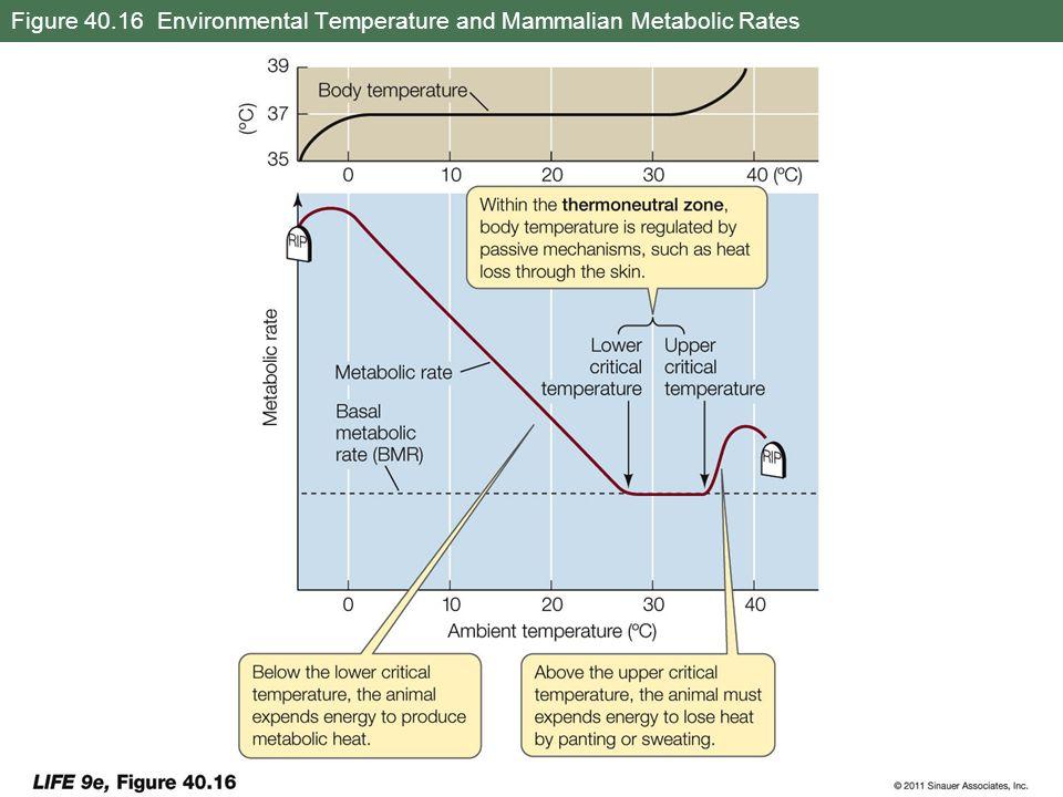 Figure 40.16 Environmental Temperature and Mammalian Metabolic Rates