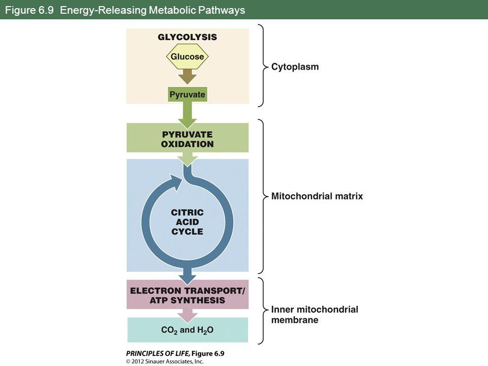Figure 6.9 Energy-Releasing Metabolic Pathways
