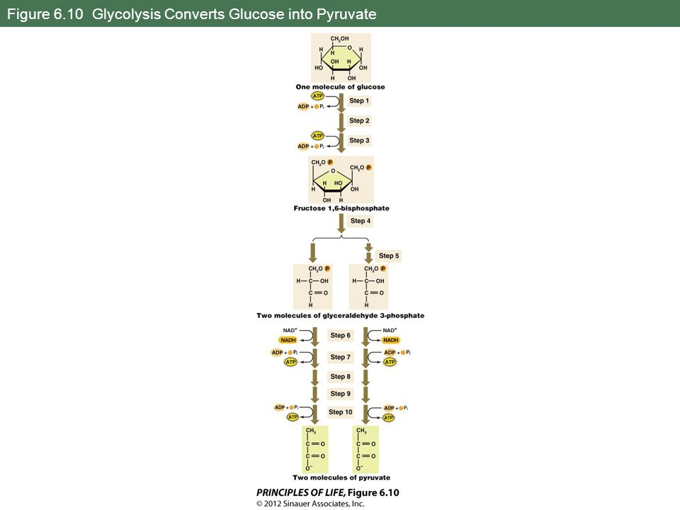 Figure 6.10 Glycolysis Converts Glucose into Pyruvate