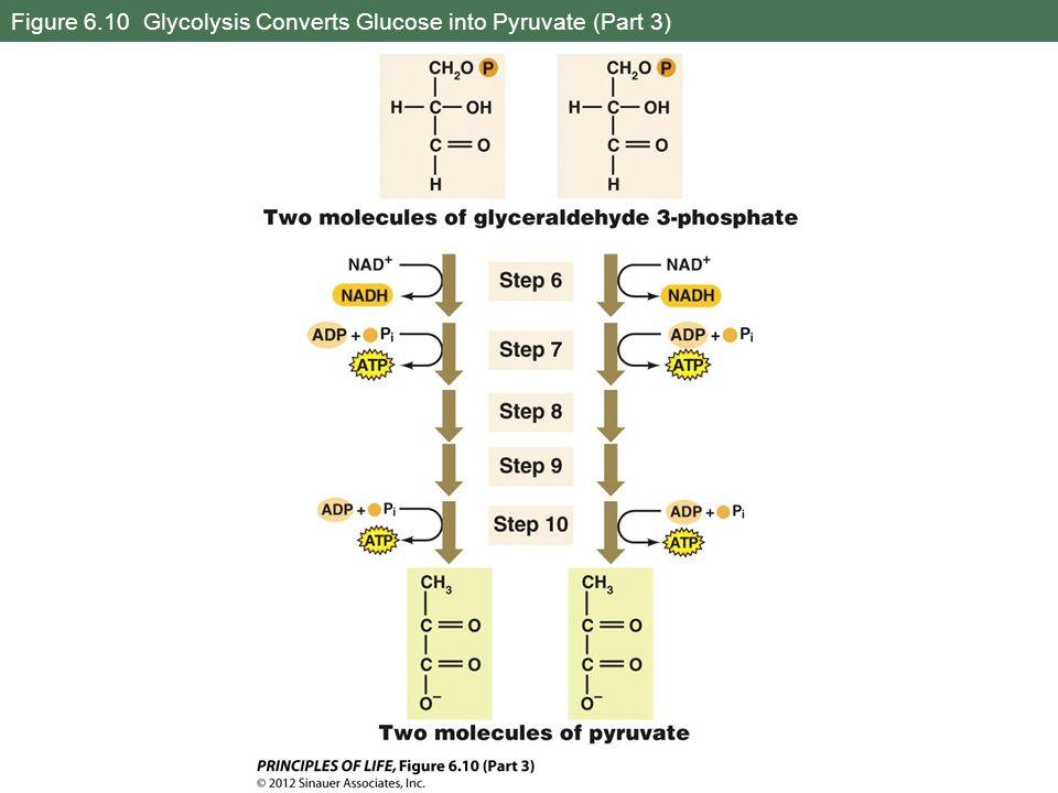 Figure 6.10 Glycolysis Converts Glucose into Pyruvate (Part 3)