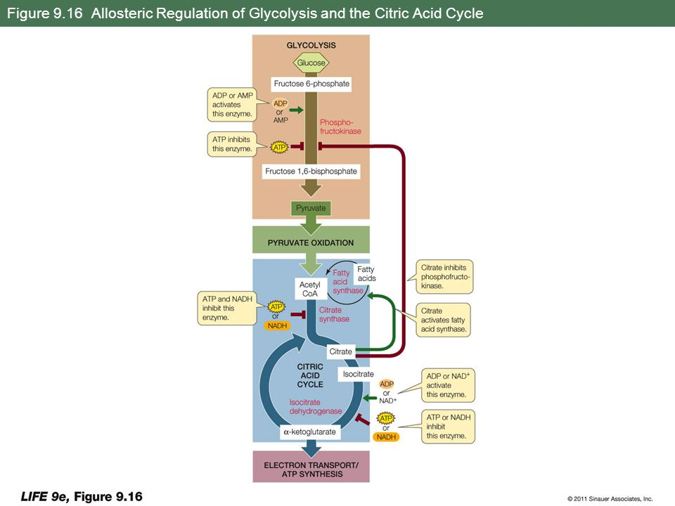 Figure 9.16 Allosteric Regulation of Glycolysis and the Citric Acid Cycle