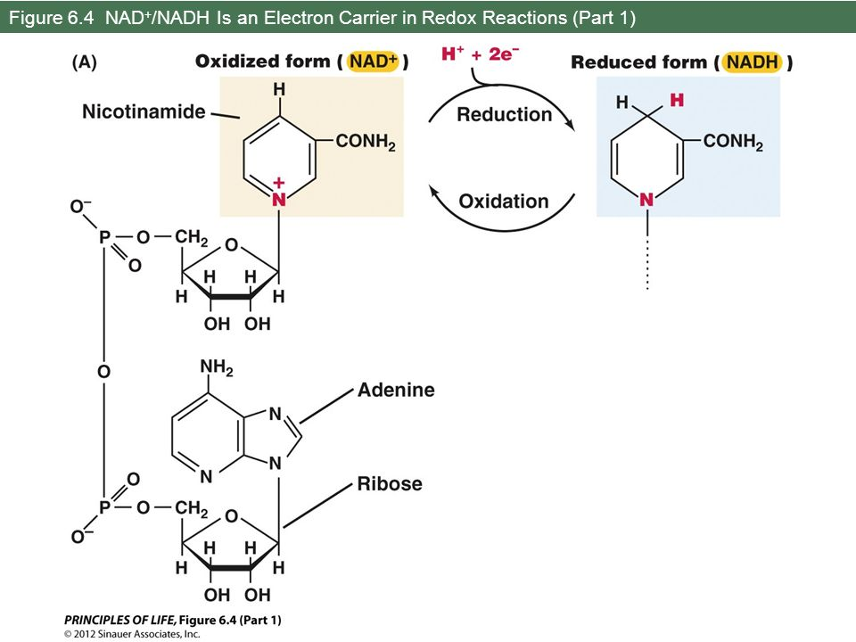 Figure 6.4 NAD + /NADH Is an Electron Carrier in Redox Reactions (Part 1)