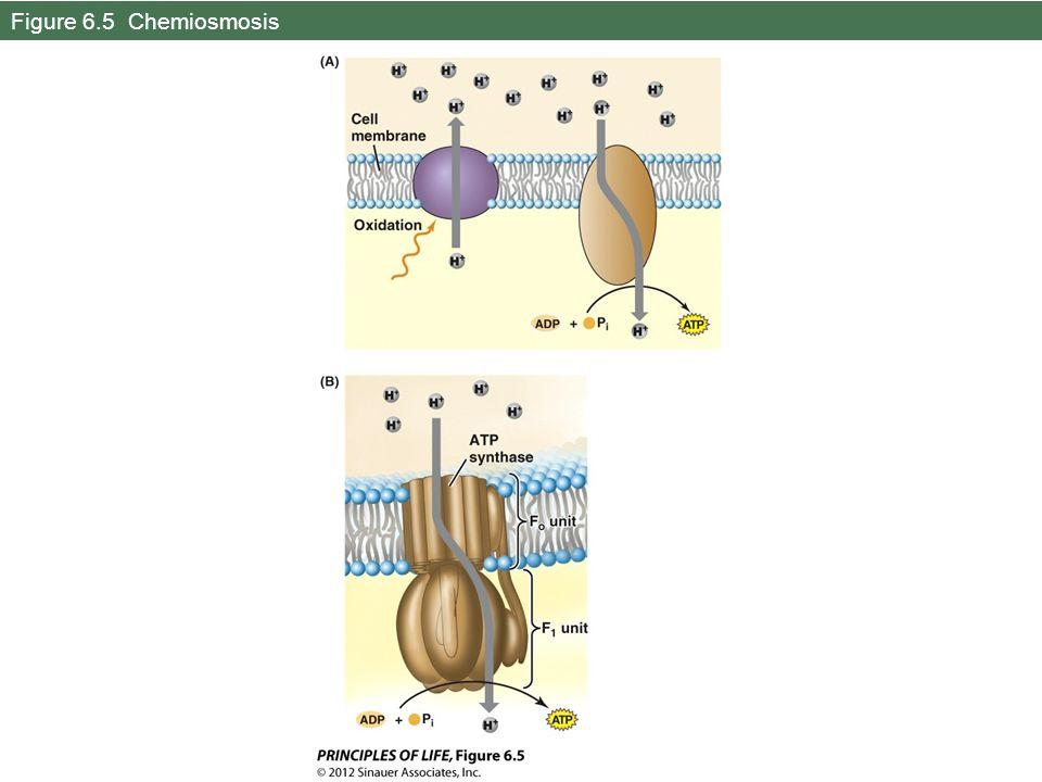 Figure 6.5 Chemiosmosis