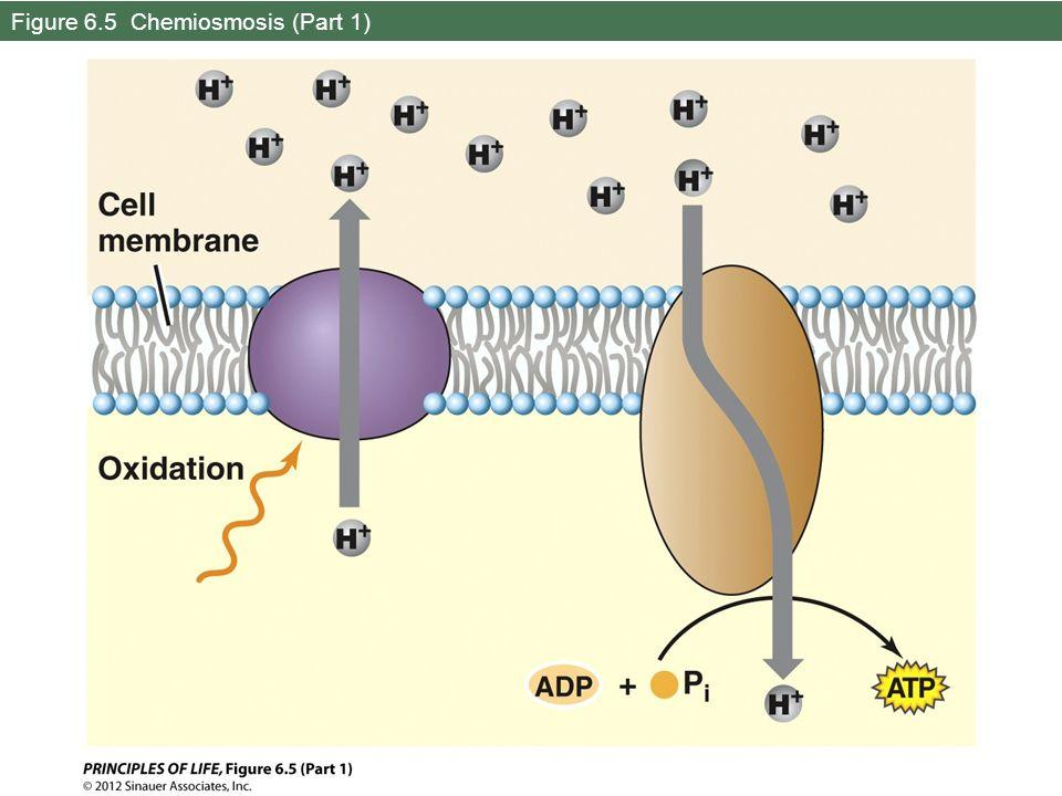 Figure 6.5 Chemiosmosis (Part 1)