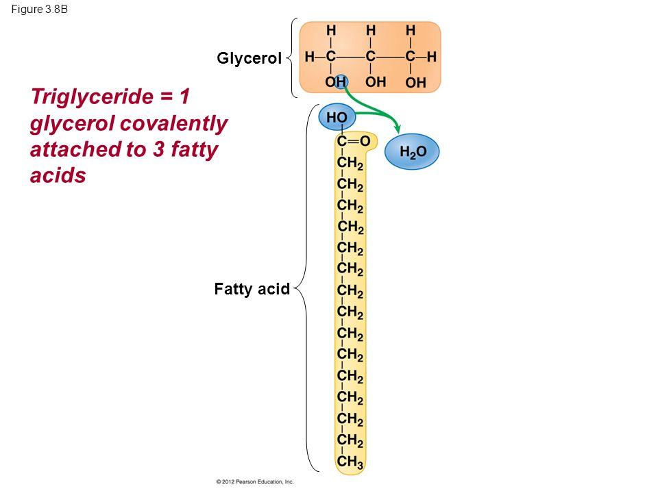 Figure 3.8B Fatty acid Glycerol Triglyceride = 1 glycerol covalently attached to 3 fatty acids