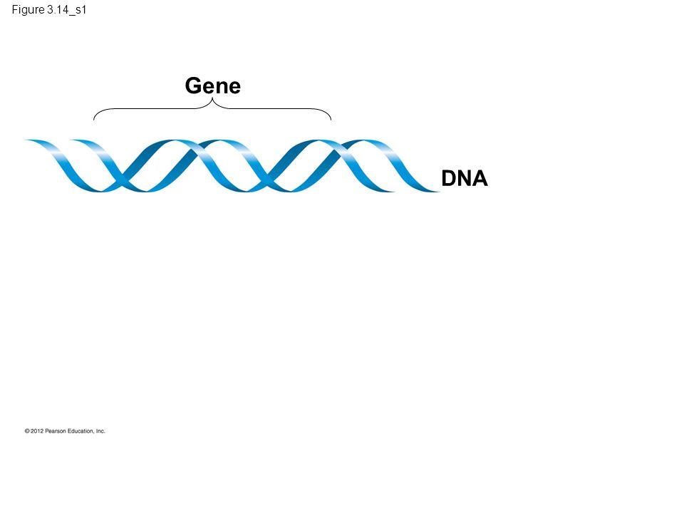Figure 3.14_s1 Gene DNA