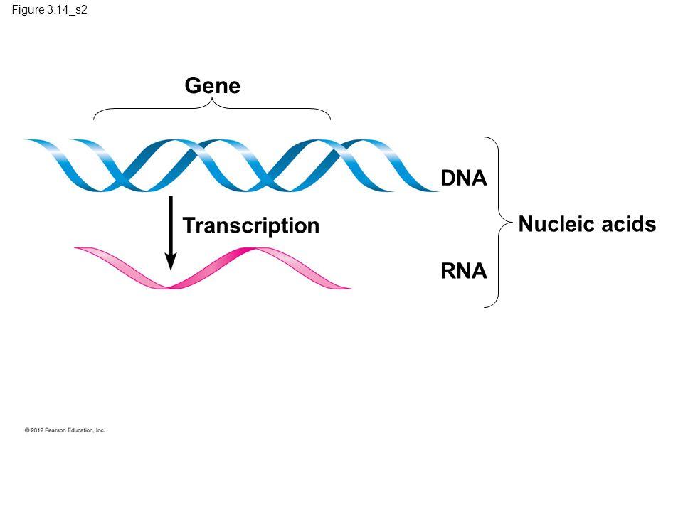 Figure 3.14_s2 Gene DNA Transcription RNA Nucleic acids