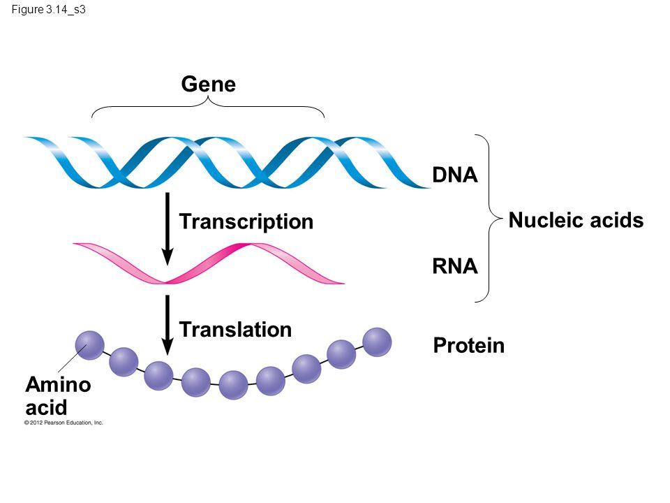 Figure 3.14_s3 Gene DNA Transcription RNA Protein Translation Amino acid Nucleic acids