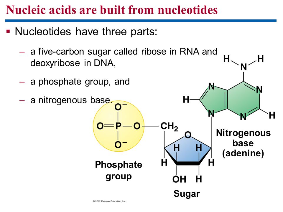 Nucleic acids are built from nucleotides Phosphate group Sugar Nitrogenous base (adenine) Nucleotides have three parts: –a five-carbon sugar called ri