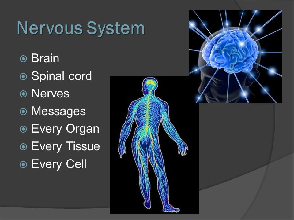 Nervous System Brain Spinal cord Nerves Messages Every Organ Every Tissue Every Cell