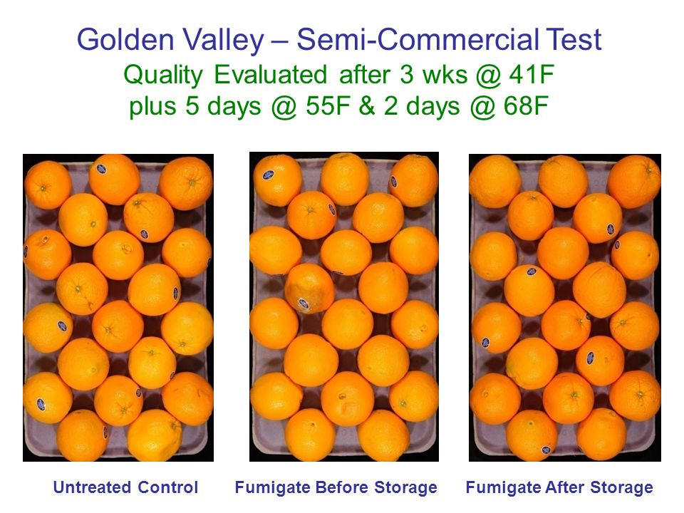 Untreated ControlFumigate Before StorageFumigate After Storage Golden Valley – Semi-Commercial Test Quality Evaluated after 3 wks @ 41F plus 5 days @ 55F & 2 days @ 68F