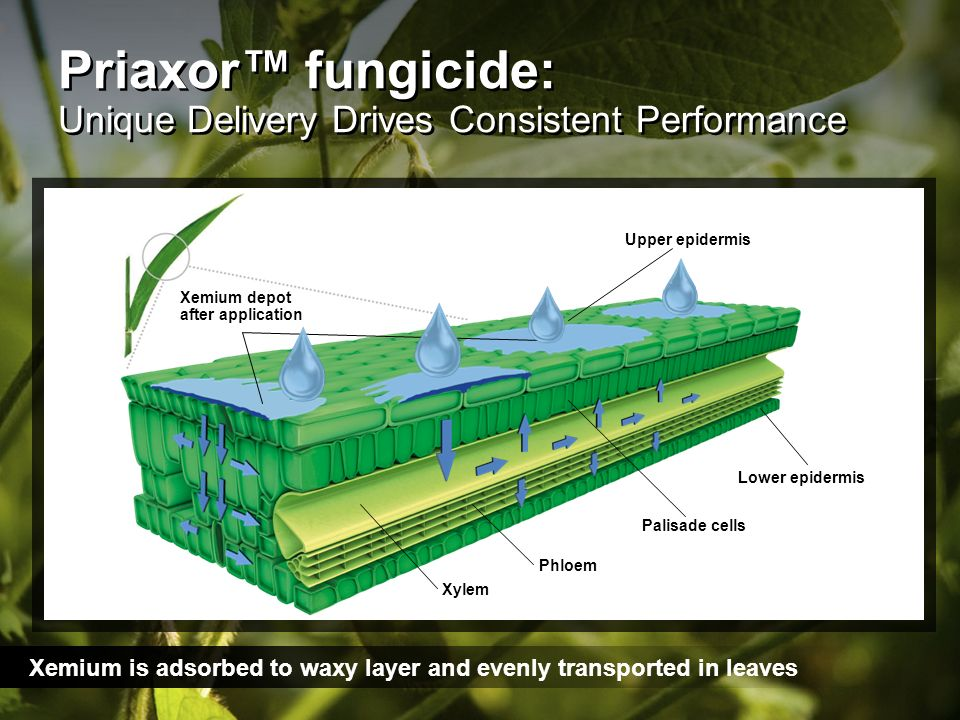 Priaxor fungicide: Unique Delivery Drives Consistent Performance Xemium is adsorbed to waxy layer and evenly transported in leaves Upper epidermis Low