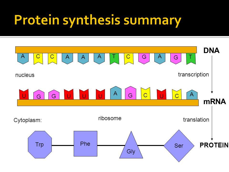 A C CC T A A AA G G T DNA C C G G G A A U U UUU mRNA transcription nucleus Gly Ser Phe Trp PROTEIN translation Cytoplasm: ribosome