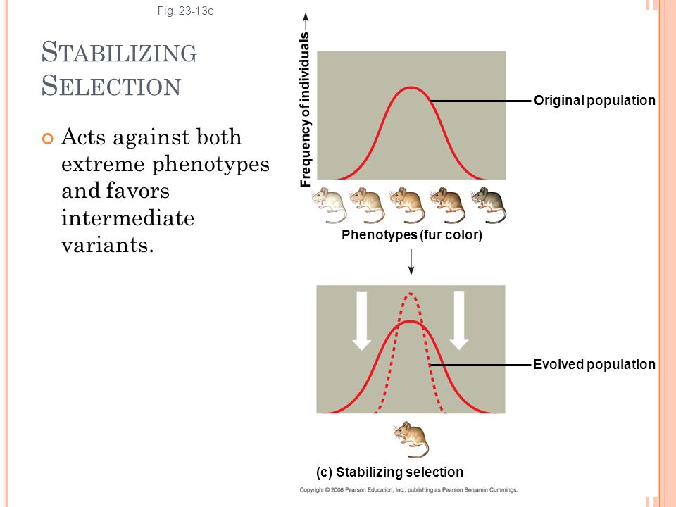 S TABILIZING S ELECTION Acts against both extreme phenotypes and favors intermediate variants. Fig. 23-13c Original population (c) Stabilizing selecti