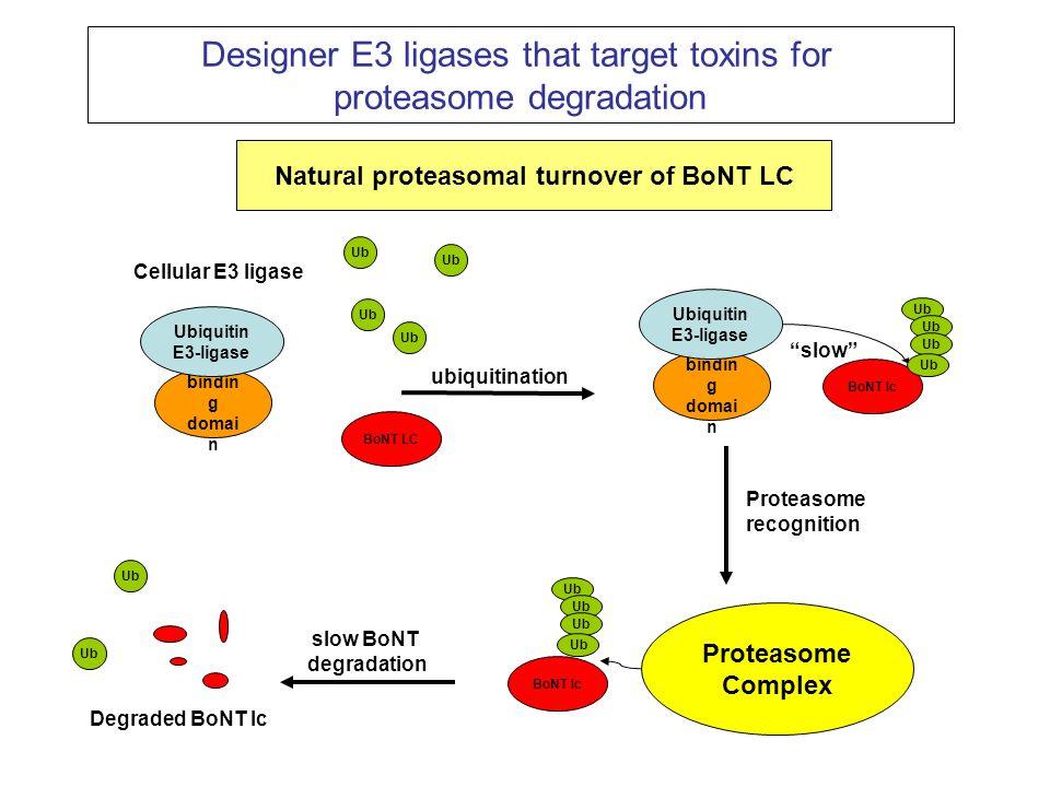 Proteasome Complex Degraded BoNT lc BoNT LC Ub ubiquitination Proteasome recognition slow BoNT degradation Natural proteasomal turnover of BoNT LC Des