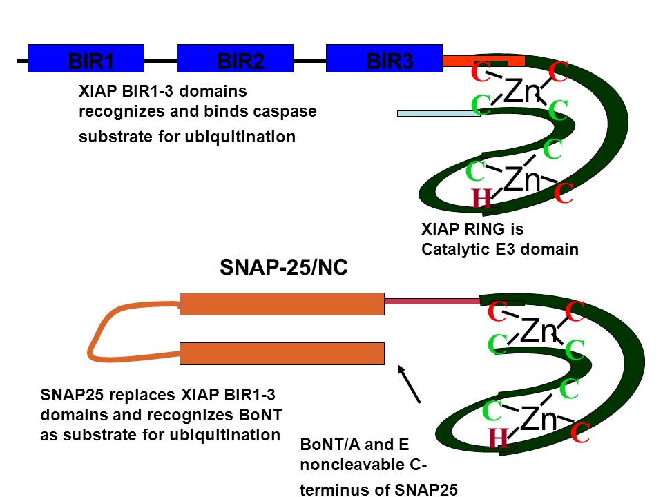 XIAP RING is Catalytic E3 domain SNAP25 replaces XIAP BIR1-3 domains and recognizes BoNT as substrate for ubiquitination SNAP-25/NC BoNT/A and E noncl