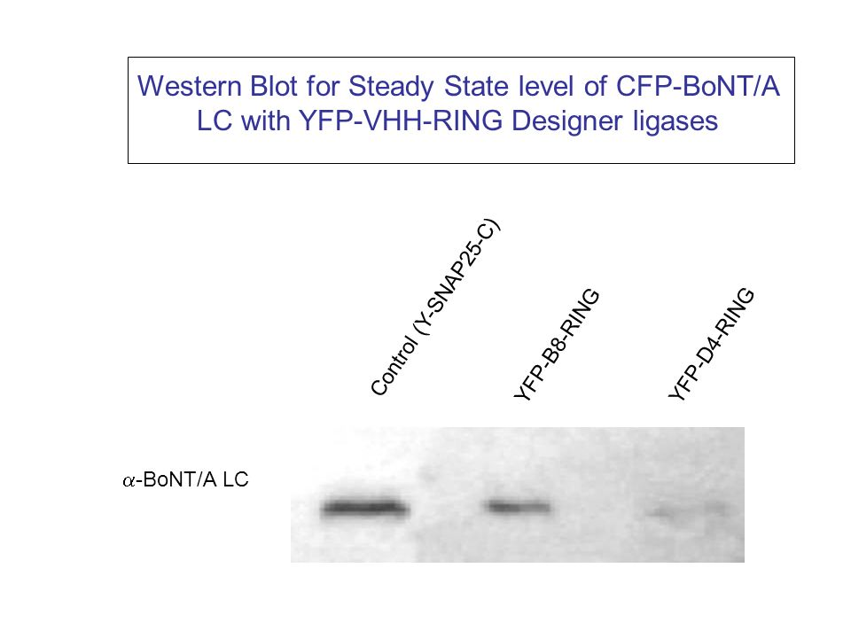 Western Blot for Steady State level of CFP-BoNT/A LC with YFP-VHH-RING Designer ligases -BoNT/A LC Control (Y-SNAP25-C) YFP-B8-RING YFP-D4-RING