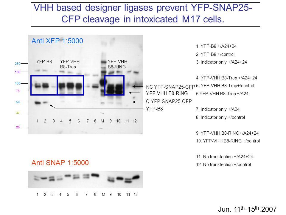 75 50 37 100 150 25 250 1: YFP-B8 +/A24+24 2: YFP-B8 +/control 3: Indicator only +/A24+24 4: YFP-VHH B8-Trcp +/A24+24 5: YFP-VHH B8-Trcp+/control 6:YF