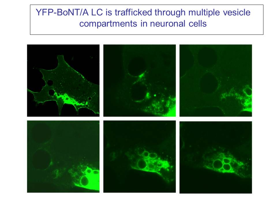 N2a cells Expressing Yes-SNAP25-Cer FRET Indicator YesFP CerFPFRETYesFP CerFP SNAP25 (1-206) FRET ratio changes from 1.3 to 0.60 over 24 hr treatment with 10 nM BoNT/A in media