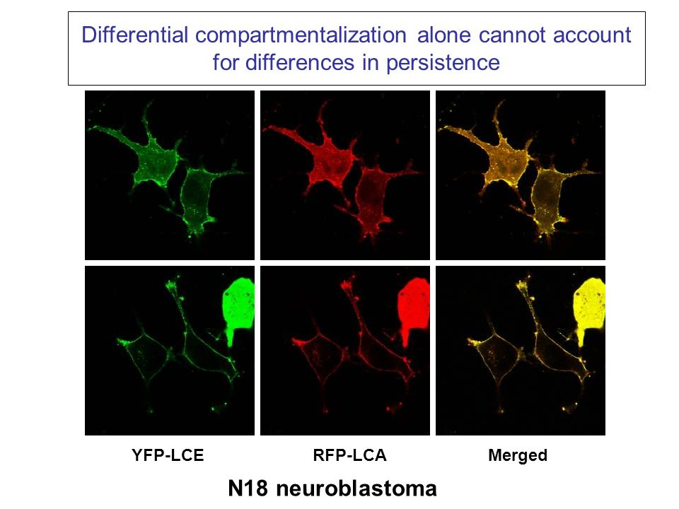 anti-actin anti-GFP CHX:012468012468 YFP-LCE YFP-LCA BoNT/A and /E LC stability in SH-SY5Y cells
