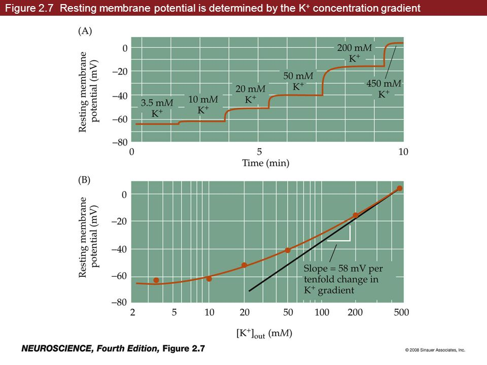 Figure 2.7 Resting membrane potential is determined by the K + concentration gradient