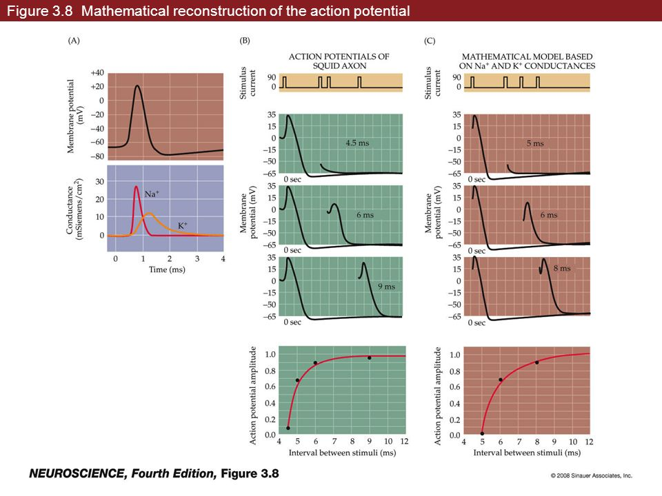 Figure 3.8 Mathematical reconstruction of the action potential