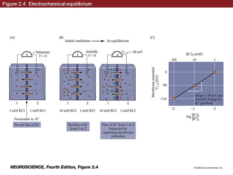 Figure 2.4 Electrochemical equilibrium