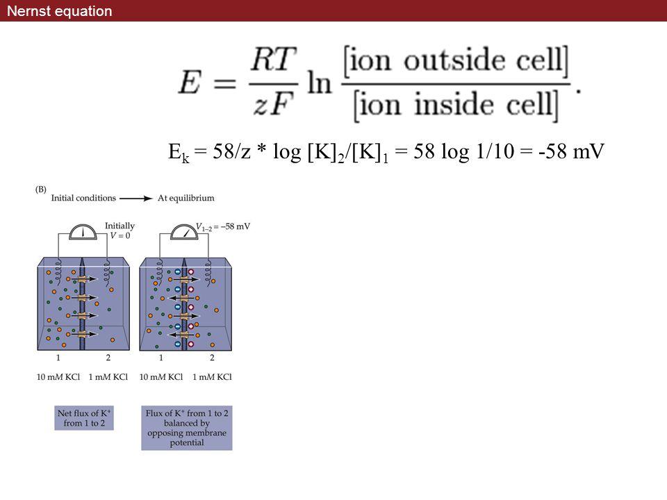 Nernst equation E k = 58/z * log [K] 2 /[K] 1 = 58 log 1/10 = -58 mV