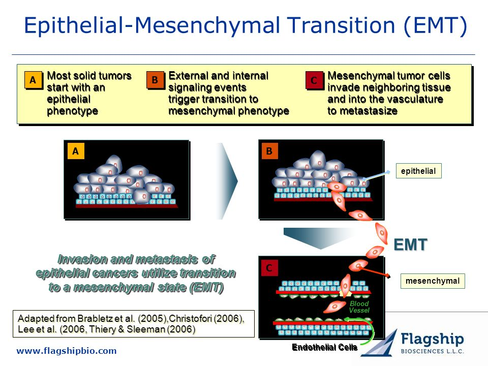 www.flagshipbio.com A A Most solid tumors start with an epithelial phenotype External and internal signaling events trigger transition to mesenchymal