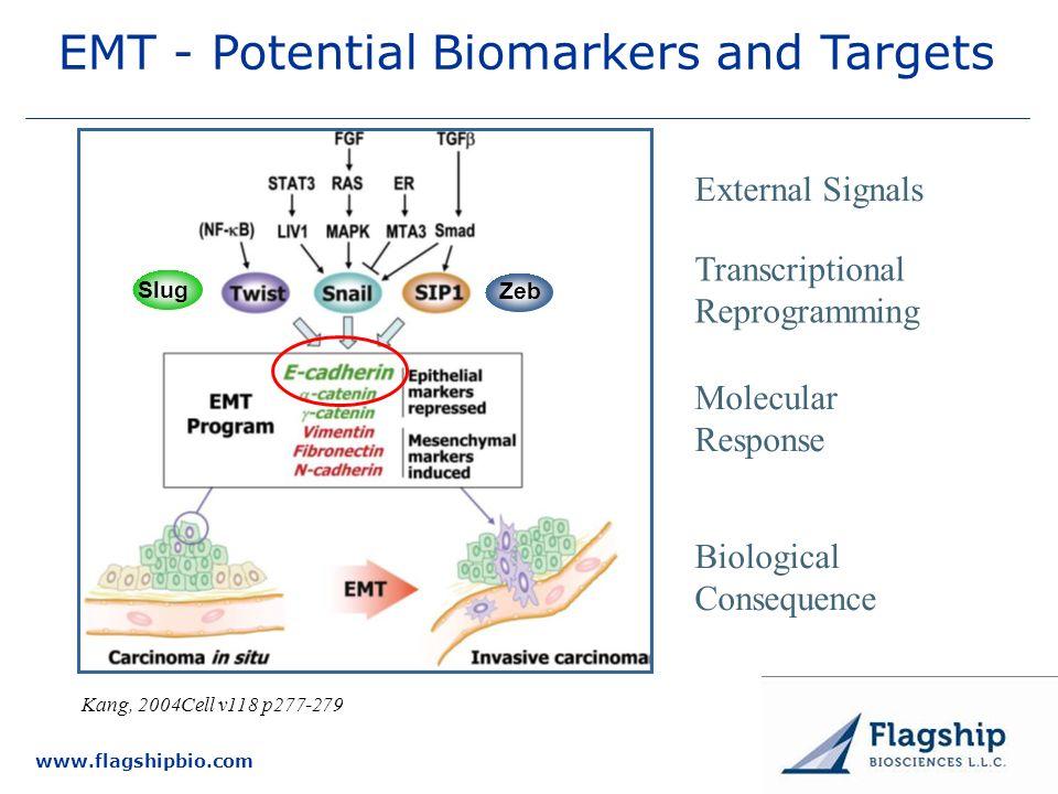 www.flagshipbio.com Kang, 2004Cell v118 p277-279 EMT - Potential Biomarkers and Targets External Signals Transcriptional Reprogramming Molecular Respo