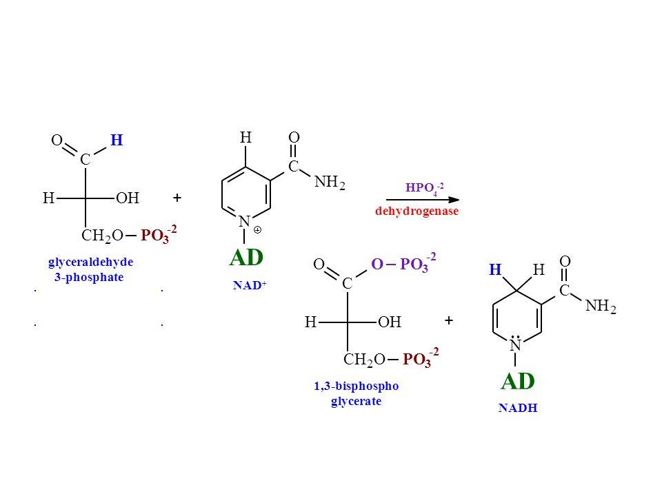 N H C O NH 2 AD dehydrogenase 1,3-bisphospho glycerate NADH NAD + glyceraldehyde 3-phosphate + HPO 4 -2 + C CH 2 O OHH O PO 3 3 O N C O NH 2 HH AD C C