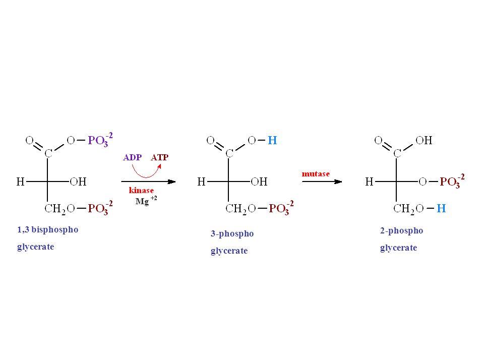 1,3 bisphospho glycerate 3-phospho glycerate 2-phospho glycerate