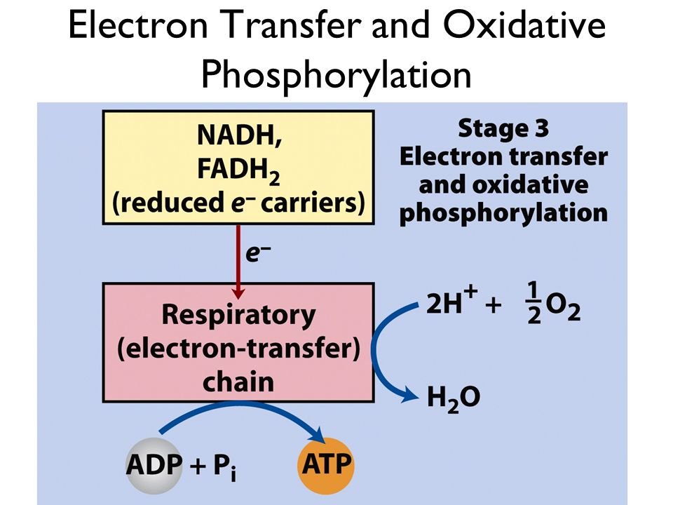 Electron Transfer and Oxidative Phosphorylation