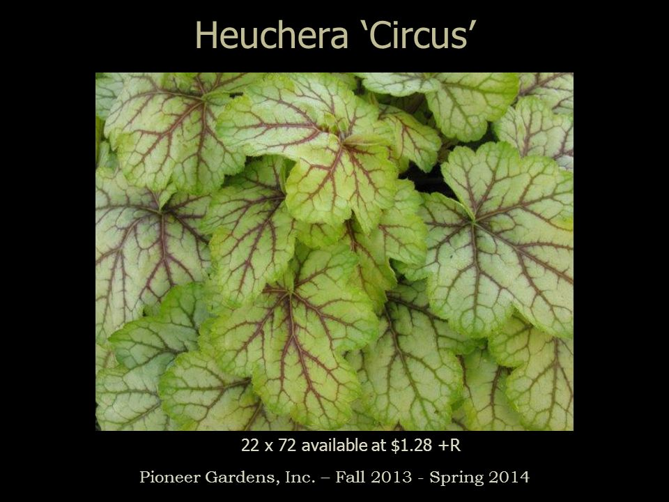 Heuchera Circus Pioneer Gardens, Inc. – Fall 2013 - Spring 2014 22 x 72 available at $1.28 +R