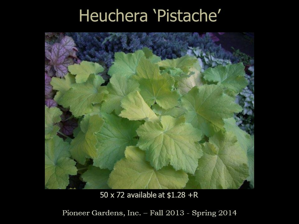 Heuchera Pistache Pioneer Gardens, Inc. – Fall 2013 - Spring 2014 50 x 72 available at $1.28 +R