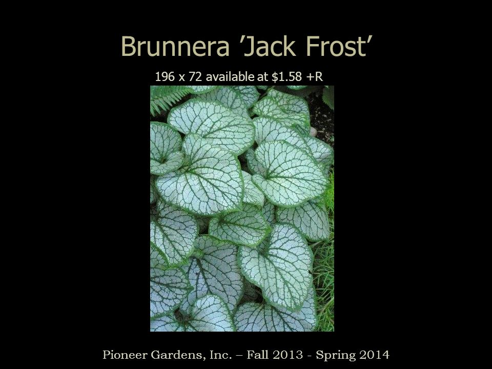 Brunnera Jack Frost Pioneer Gardens, Inc. – Fall 2013 - Spring 2014 196 x 72 available at $1.58 +R