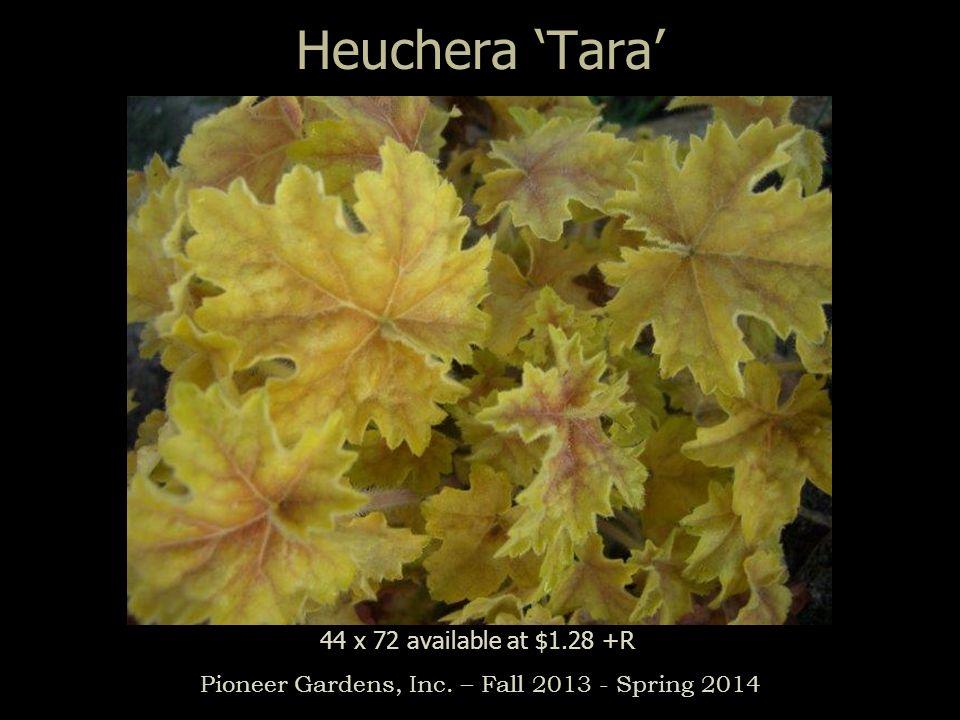 Heuchera Tara Pioneer Gardens, Inc. – Fall 2013 - Spring 2014 44 x 72 available at $1.28 +R