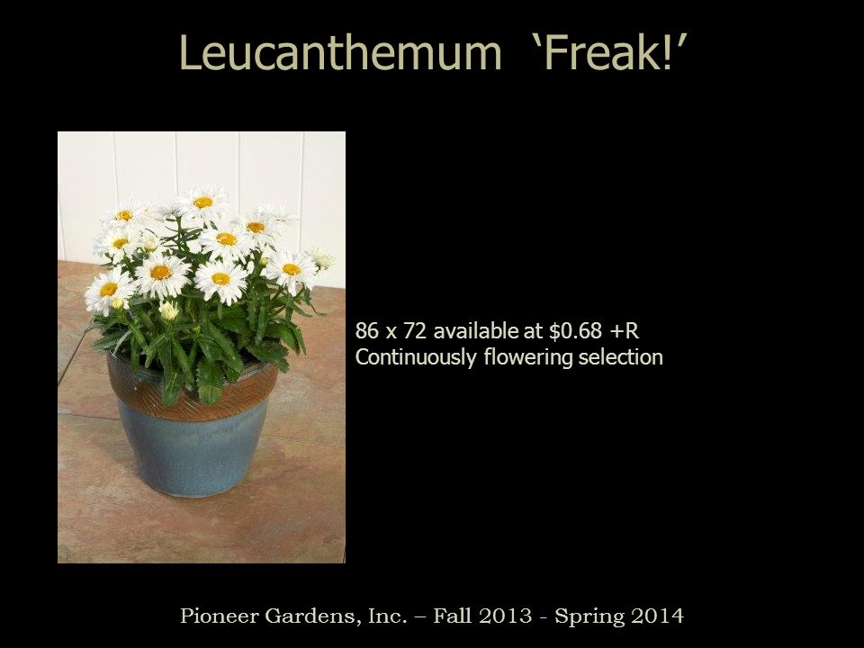 Pioneer Gardens, Inc. – Fall 2013 - Spring 2014 Leucanthemum Freak! 86 x 72 available at $0.68 +R Continuously flowering selection