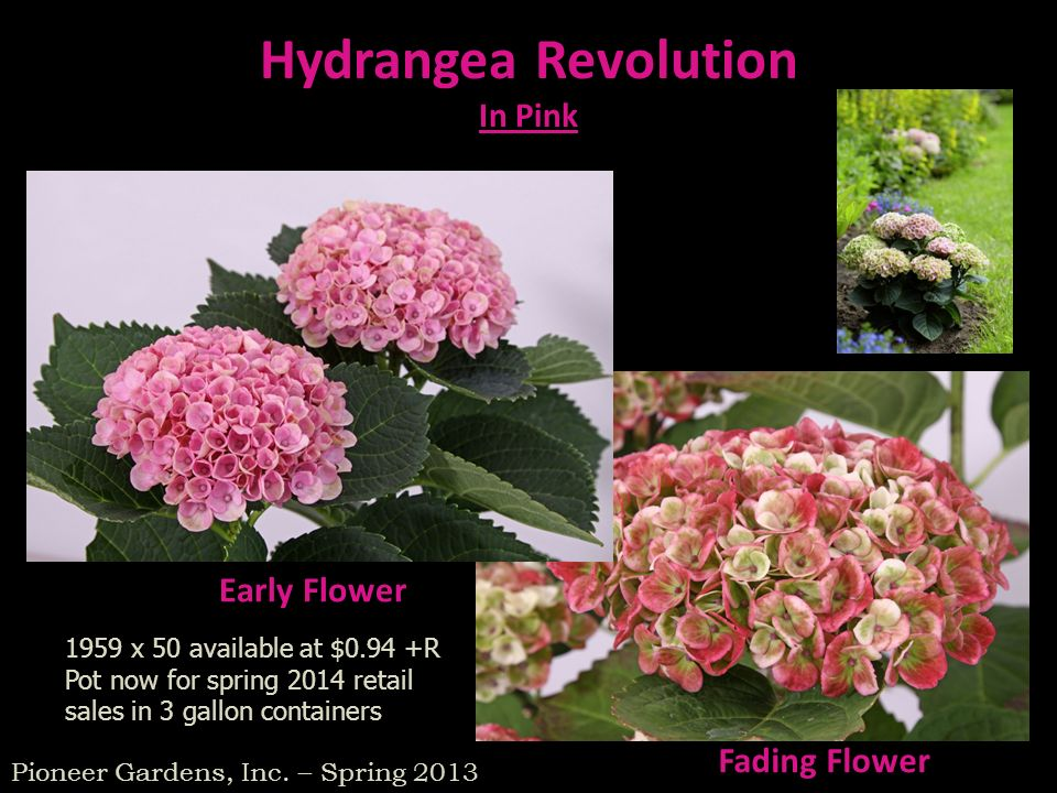 Early Flower Fading Flower Hydrangea Revolution In Pink Pioneer Gardens, Inc. – Spring 2013 1959 x 50 available at $0.94 +R Pot now for spring 2014 re