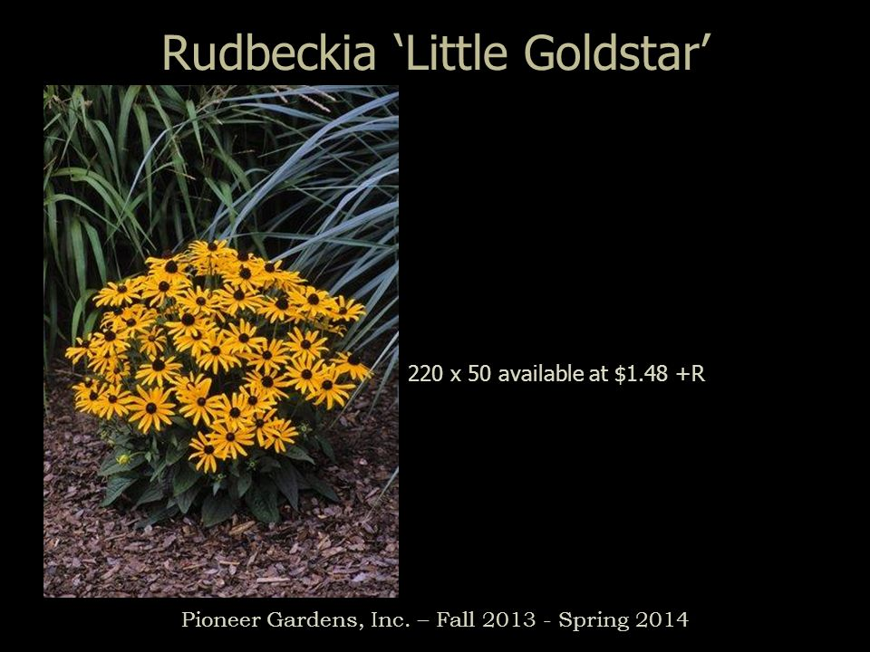 Pioneer Gardens, Inc. – Fall 2013 - Spring 2014 Rudbeckia Little Goldstar 220 x 50 available at $1.48 +R