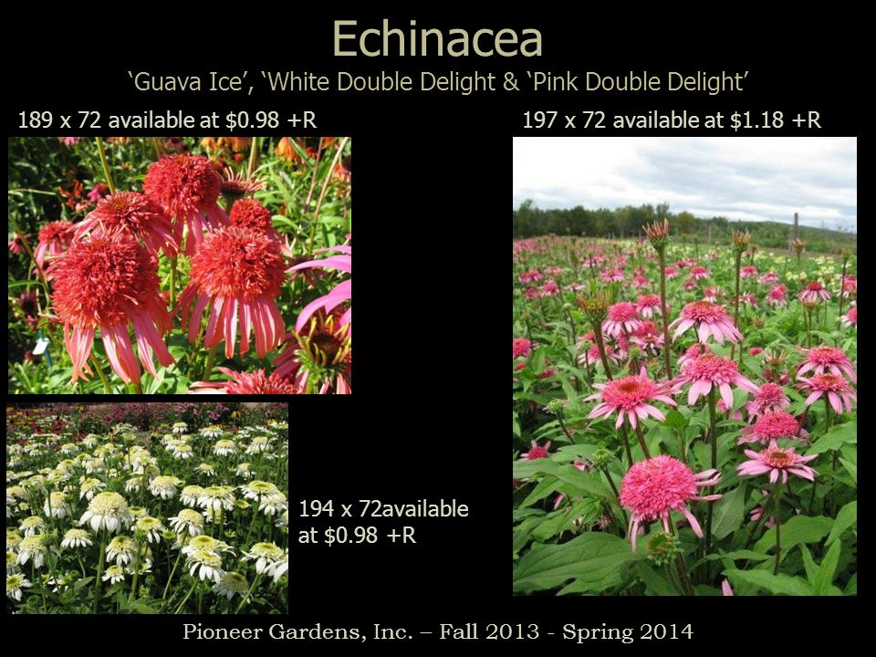 Echinacea Guava Ice, White Double Delight & Pink Double Delight Pioneer Gardens, Inc. – Fall 2013 - Spring 2014 189 x 72 available at $0.98 +R197 x 72
