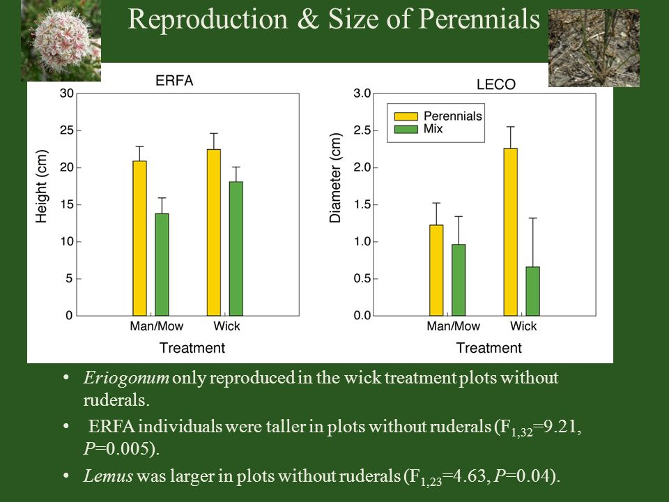 Reproduction & Size of Perennials Eriogonum only reproduced in the wick treatment plots without ruderals. ERFA individuals were taller in plots withou